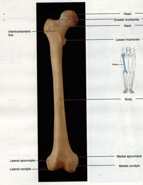 thigh bone, Human Body